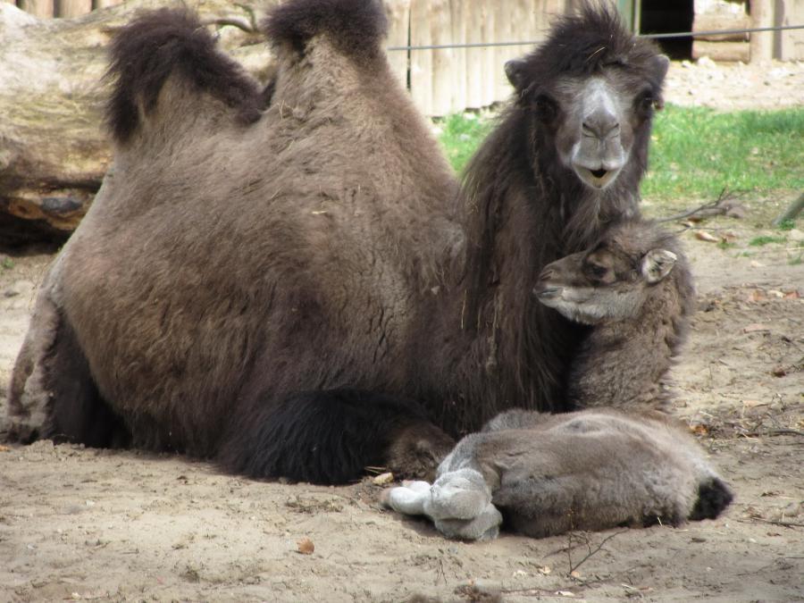 Kamel 3