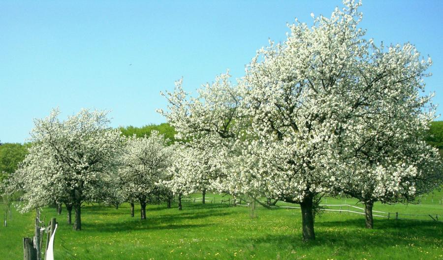 Kischblüte im Gö Land