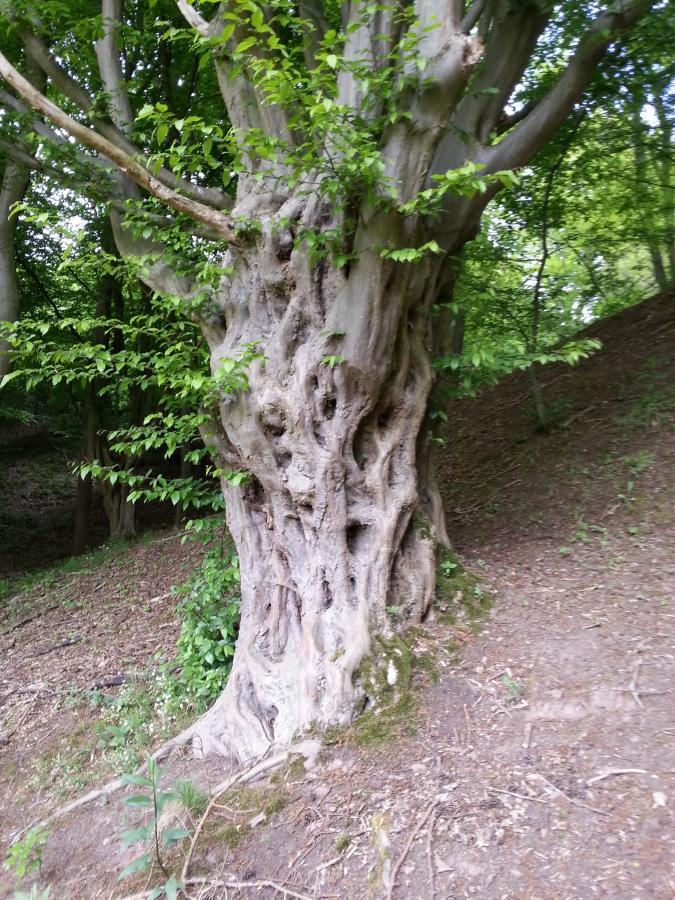 Hainbuchen knorriger Einzelbaum