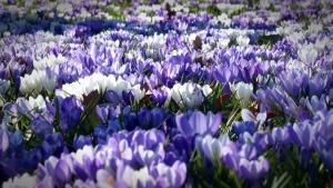 Krokusse; Quelle: © hdhintergrundbilder.net