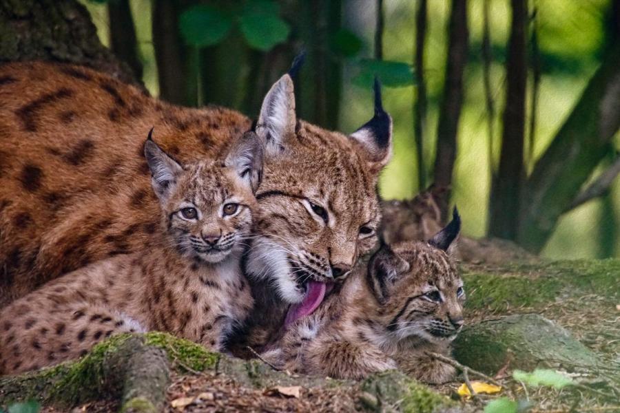 Luchsfamilie im Bayerwald Tierpark Lohberg