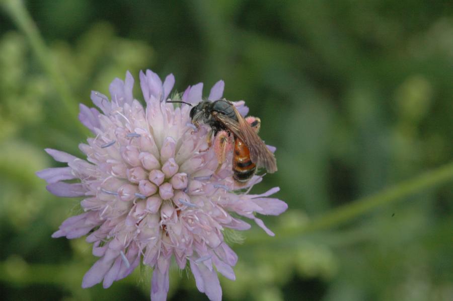 Insekt Knautien-Sandbiene 2006-06-23 (Foto: Martin Heerd M004178)