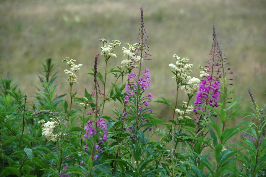 blühende Wildkräuter im Juli