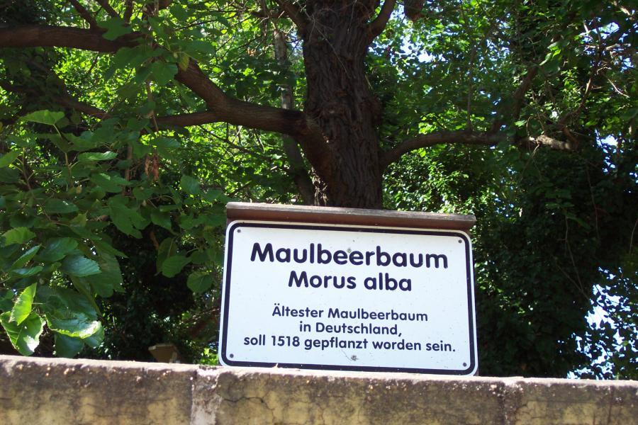 Hinweistafel Maulbeerbaum