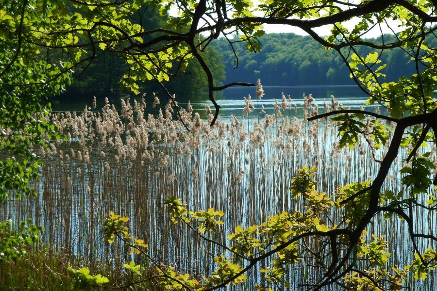 Mittelprendener See_Schilf
