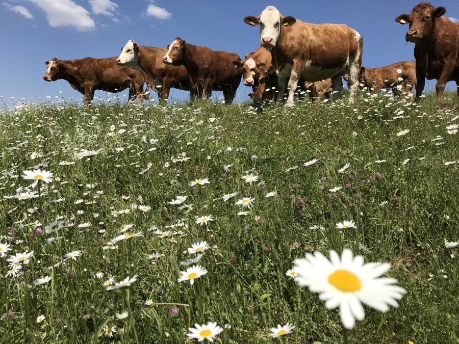 Mutterkühe auf Blumenwiese bei Dorste