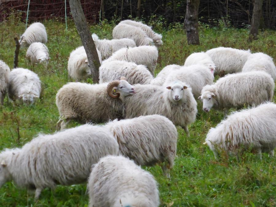 der Bock kommt in die Herde