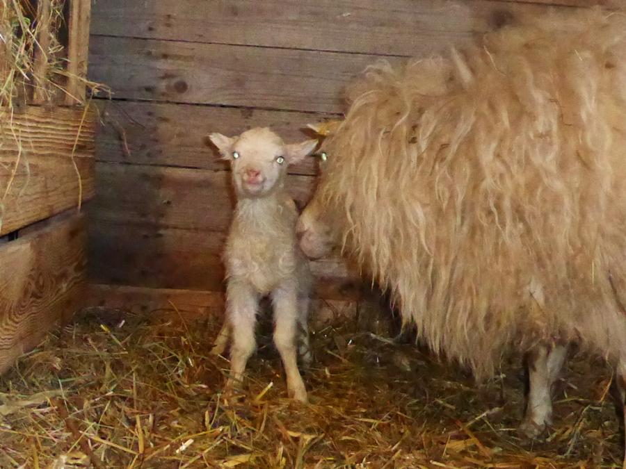 Endlich! Das erste Lamm ist da! 31.12.2017