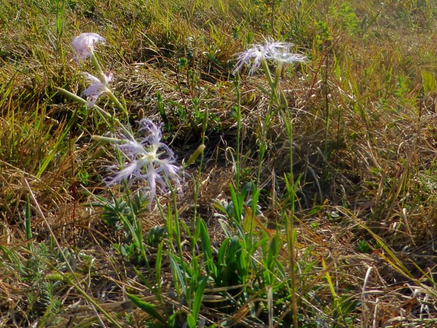Nelken auf der Weide