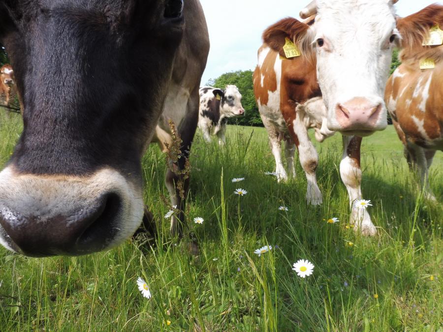 Kuh auf artenreichem Grünland