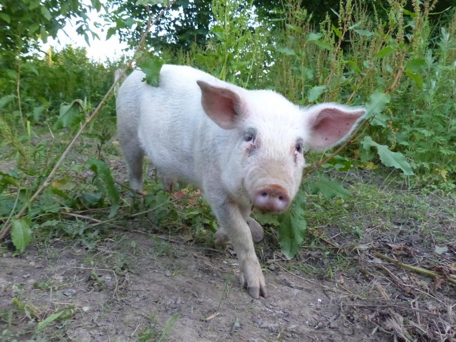 Schweine Foto: J. Gössling