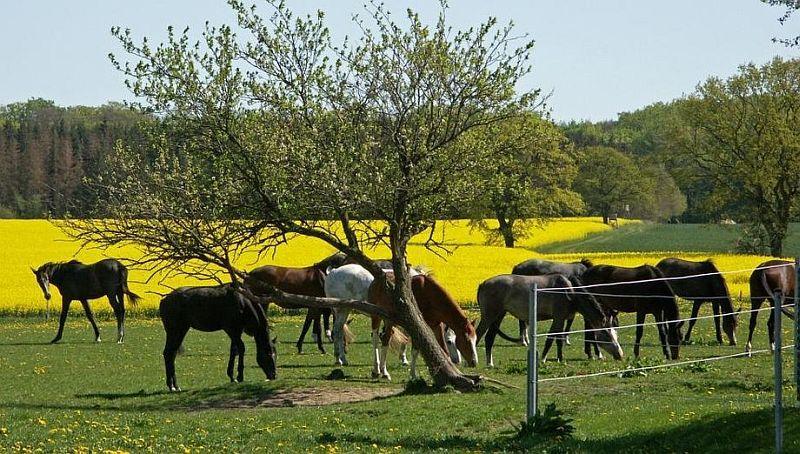 Pferde auf der Koppel - Gestüt Vorpommern