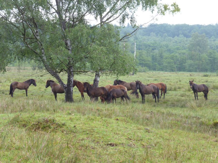 Pferdebeweidung im NSG Hühnerfeld