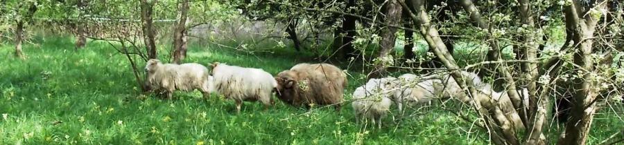 Schafe Dransfeld