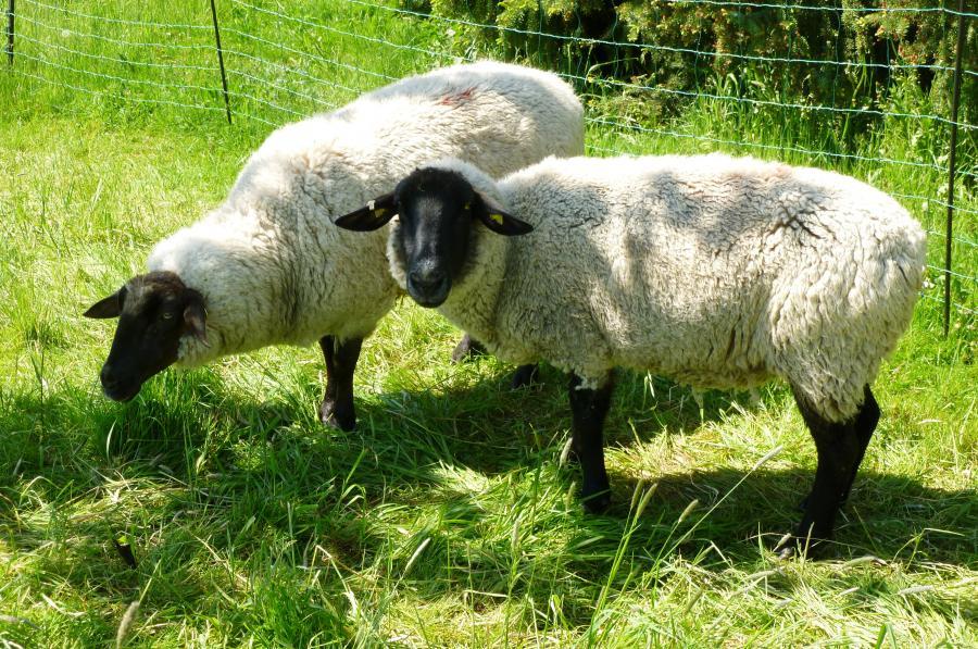 SchafeWeigm