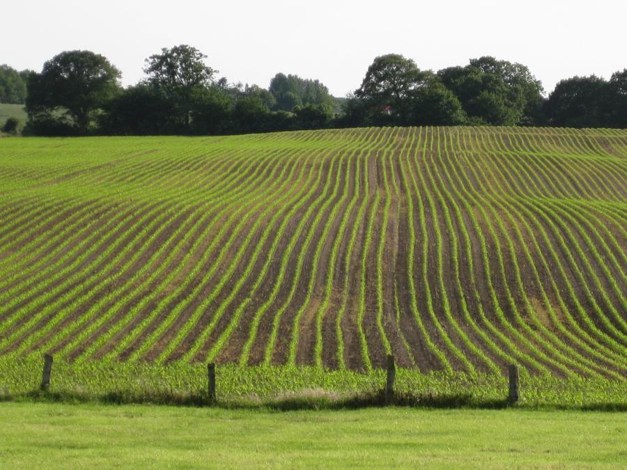 Feld mit Maispflanzen in der Gemeinde; Quelle: Detlev Blunk