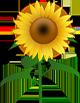 Kita Sonnenblume