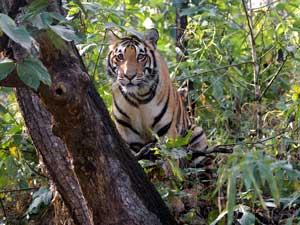 Tiger, Indien