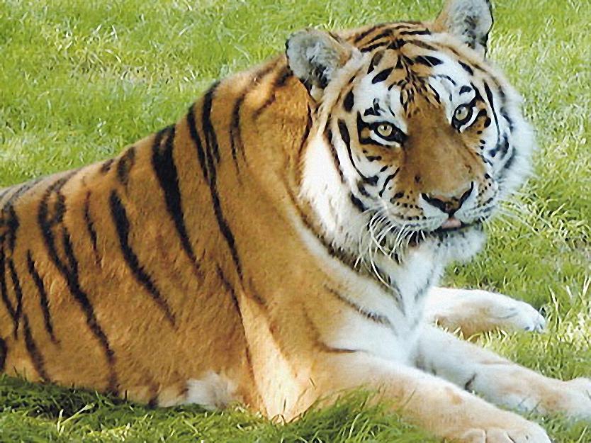 Tiger im Tierpark Ströhen