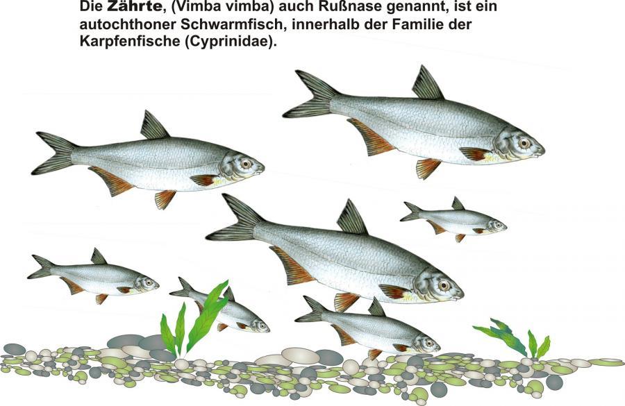lizenspflichtiges Fischmotiv, gefördert aus Mitteln der Fischereiabgabe des Landes Sachsen-Anhalt