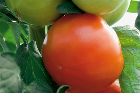 Tomate Normalfrucht `Maestria` Bildquelle Firma Kientzler