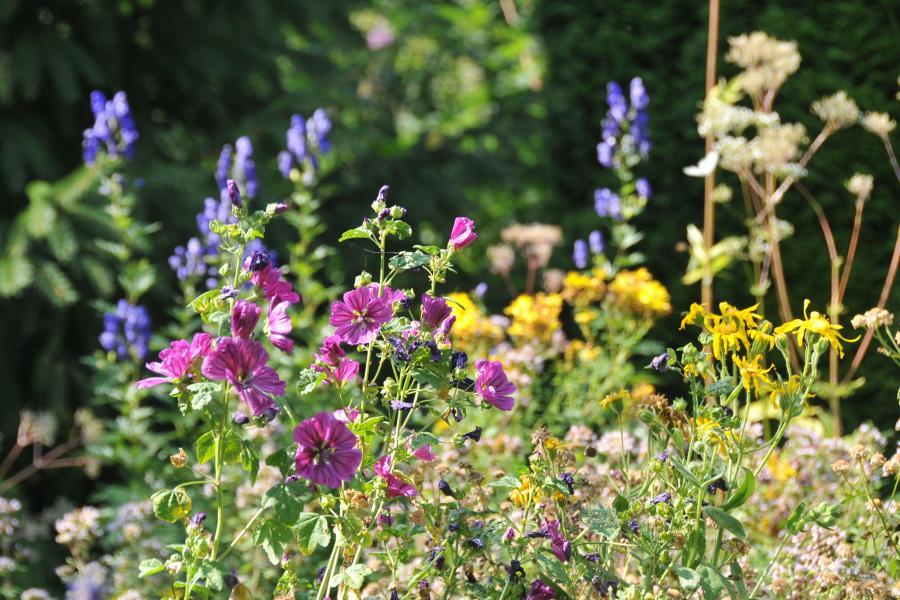 blühende Kräuter im August: wilde Malve, Johanniskraut und Mädesüß