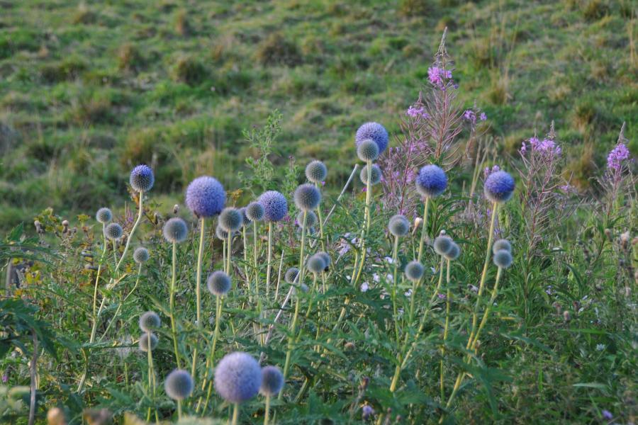 Blütenflor im August: Kugeldisteln und Weidenröschen