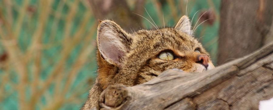 Wildkatze im Wildkatzendorf Hütscheroda. Fotos: siro