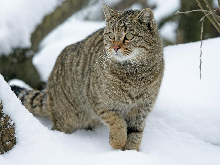 Eine Wildkatze stiefelt durch den Schnee - Foto: Lisa Mäder