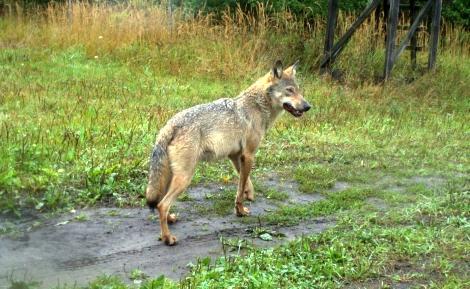 Wolf Vortrag