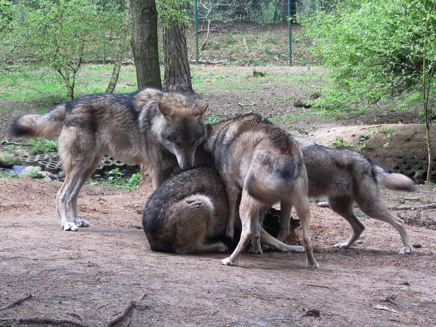 Wolf 400