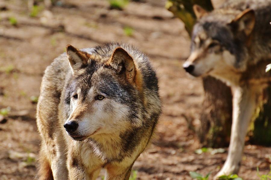 Wolf Willkommen