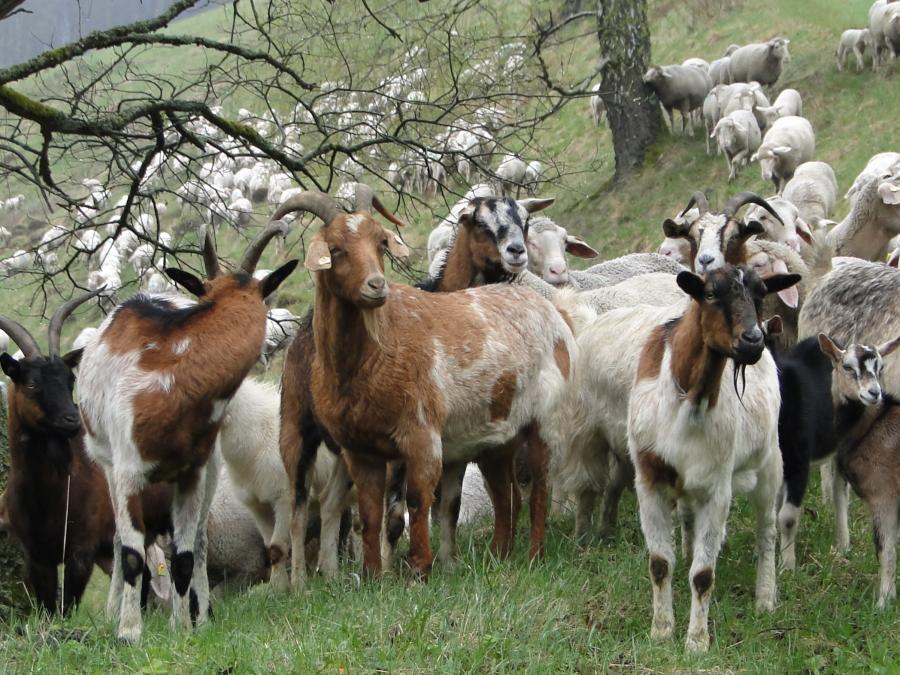 Ziegen und Schafe am Hang