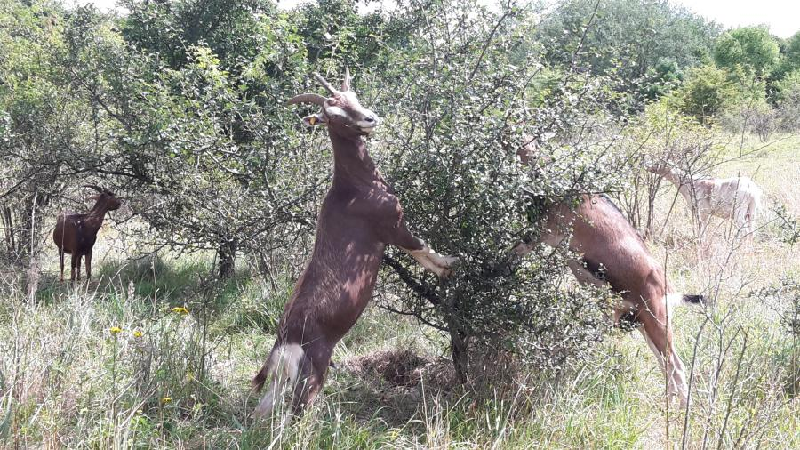 Ziegen können Büsche besonders effektiv zurückdrängen_NSG bei Pöhlde