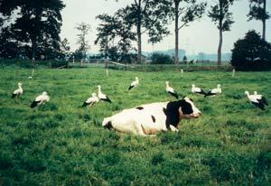 Kühe Storche