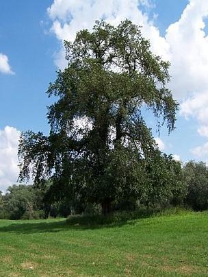 Ulme Elbaue