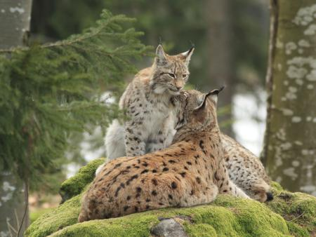 Nationalpark-Luchs
