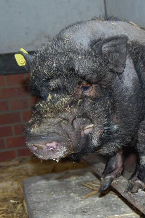 männliches Schwein