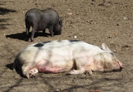 Minischwein 1