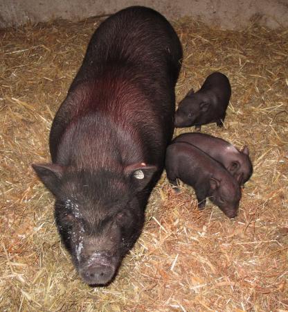 Minischwein 2