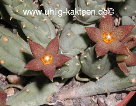 Piaranthus framesii
