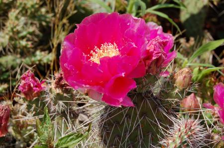 S 52 U 2 Opuntia hystricina Hybr Halblech 06 Juni 022.jpg