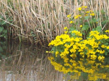 Recknitz - Sumpfgotterblume