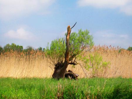 Weidenstumpf an der Recknitz - Foto Harald Stypmann