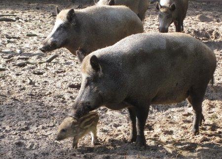 Wildschweine 1