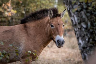 Przewalski-Pferd in Sielmanns Naturlandschaft Döberitzer Heide, Foto: Cécile Zahorka