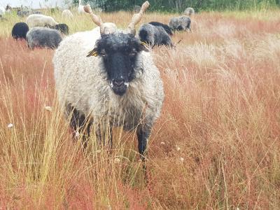 Bildnachweis: Markus Metzger, Schafe im Rodgau. Zackelschafe auf der Weide