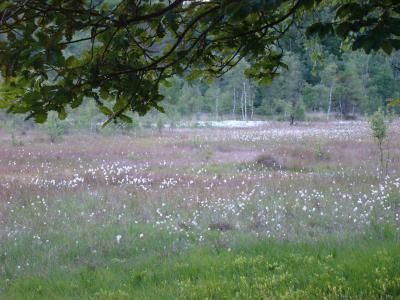 Fruchtendes Wollgras im Budschimoor
