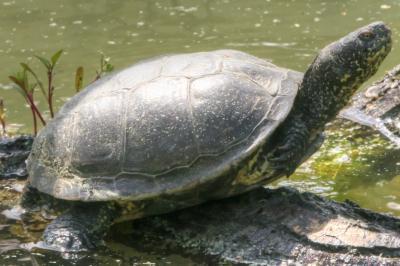 Schildkröte © Axel Zille